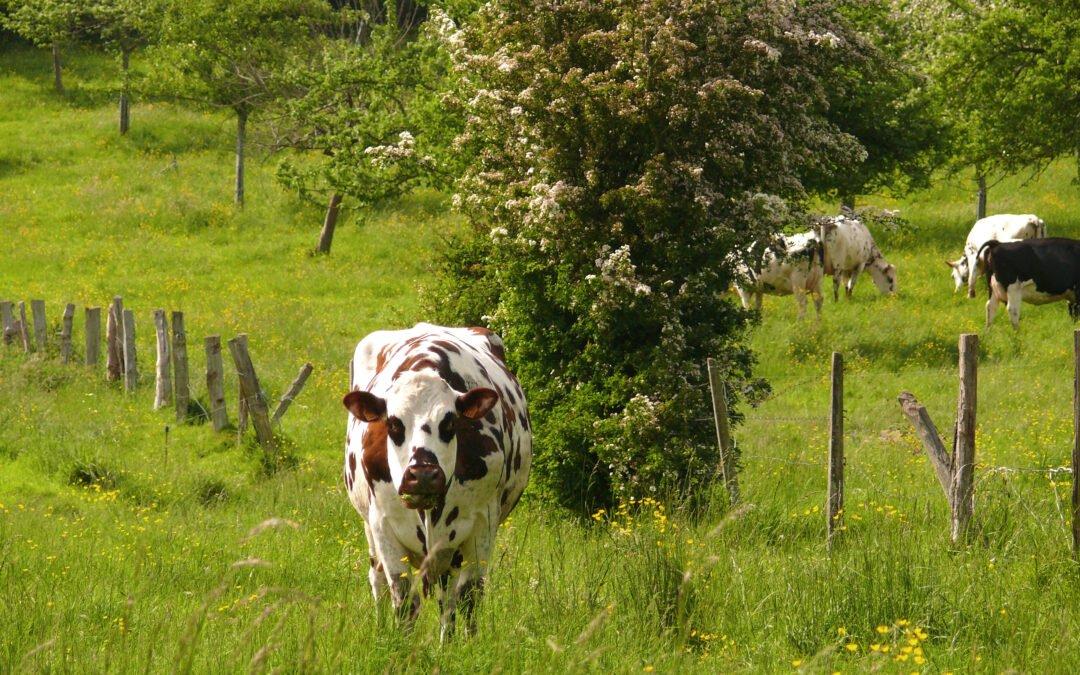 Le Département lutte contre la tuberculose  bovine